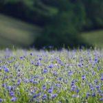 Rudzupuķe (4)