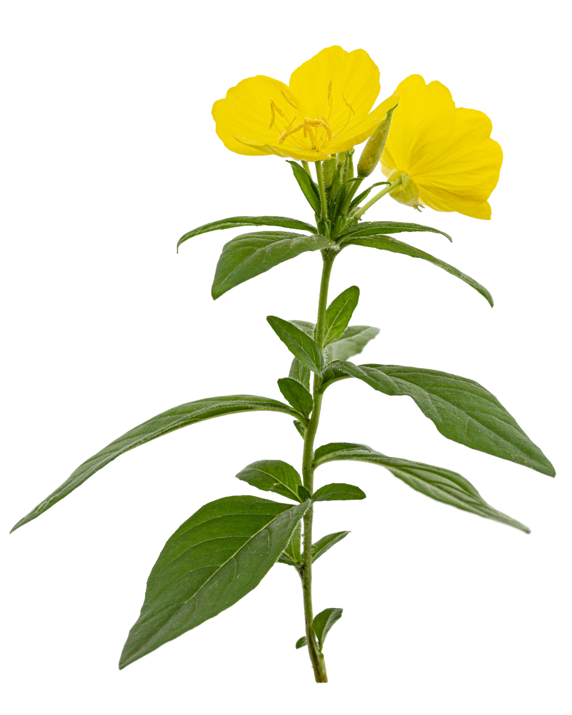 Flower of yellow Evening Primrose, lat. Oenothera, isolated on white background