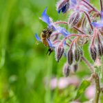Honey bee collecting nectar pollen from a Borago officinalis wild flower