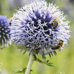 128461294 - echinops sphaerocephalus - bleacher flower and pollinating bee.