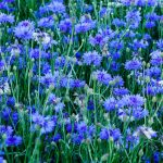 beautiful blooming blue cornflower in the garden on a blurred background